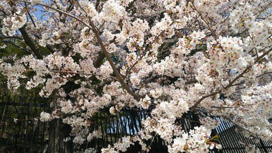 能ケ谷神社のお花見へ🌸